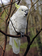Pet Cockatoo Photos - Friendly Cockatoo by Judy Whitton