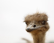 Ostrich Photos - Friendly Ostrich by Terry Fleckney