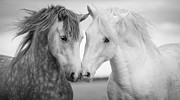 Black And White Horse Framed Prints - Friends IV Framed Print by Tim Booth