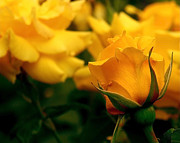 Yellow Rosebud Photos - Friendship Roses by Rona Black