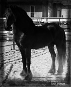 Friesian Posters - Friesian Apollo Poster by Royal Grove Fine Art