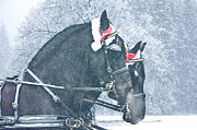 Winter Prints Digital Art Posters - Friesian Holiday Poster by Jamie Mammano
