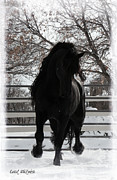 Friesian Posters - Friesian Light Poster by Royal Grove Fine Art