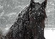 Horse Artwork Prints - Friesian Snow Print by Fran J Scott