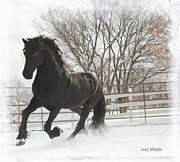Friesian Posters - Friesian Stallion  Poster by Royal Grove Fine Art