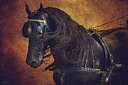 Horse And Cart Photo Metal Prints - Friesian Under Harness Metal Print by Lyndsey Warren