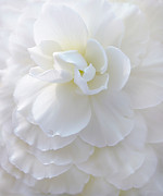 Begonias Posters - Frilly Ivory Begonia Flower Poster by Jennie Marie Schell