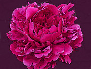 Fushia Digital Art - Frilly Lush Bright Pink Peony by Maureen Tillman