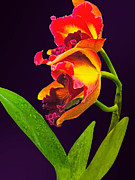 Gardener Posters - Frilly  Red and Yellow Orchids Poster by Susan Savad