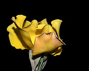 Pretty Flowers Photos - Frilly Yellow by Camille Lopez