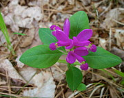 David Pickett - Fringed Polygala