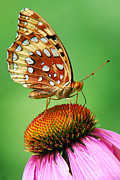 Butterfly Digital Art Posters - Fritillary Butterfly Poster by Christina Rollo