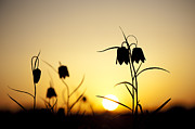 Sun Flower Framed Prints - Fritillary Flower Sunset Framed Print by Tim Gainey