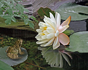 Water Lily Picture Prints - Frog In Awe of White Water Lily Print by Gill Billington