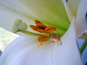 Folde Posters - Frog in the Lily Poster by Judy Hall-Folde