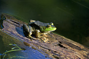 Amphibians Digital Art Metal Prints - Frog On A Log Metal Print by Christina Rollo