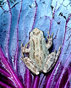 Pacific Chorus Frog Framed Prints - Frog on cabbage Framed Print by Jean Noren