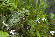 Amphibians Digital Art Posters - Frog On Waters Edge Poster by Christina Rollo