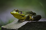 Green Frog Prints - Frog Outcrop Print by Christina Rollo
