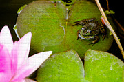 Gardens And Flowers - Frog sitting on lilypad by Crystal Wightman
