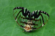 Frontal Metal Prints - Froghopper Mimicking a Jumping Spider Metal Print by Mark Moffett
