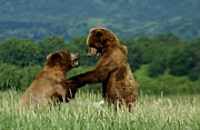 Challenging Prints - Frolicking Grizzly Bears Print by Patricia Twardzik