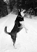 Husky Posters - Frolicking in the Snow - Black and White Poster by Carol Groenen