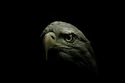 Eagle Metal Prints - From the Shadows Metal Print by Shane Holsclaw
