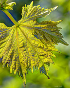 Grape Leaves Prints - From The Vine Print by Heidi Smith