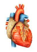 Heart Healthy Metal Prints - Front View Of Human Heart Metal Print by Stocktrek Images