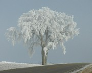 Penny Posters - Frost Covered Lone Tree Poster by Penny Meyers