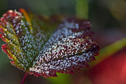 Red Leaf Posters - Frost Crystals on a Leaf Poster by Sharon  Talson