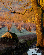 Grape Vines Photos - Frost in the Valley Of the Moon by Bill Gallagher