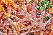 Green Pasture Posters - Frost on Red Oak Leaf Poster by Thomas R Fletcher