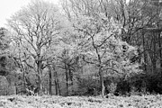 Winter Prints Digital Art Prints - Frost on Trees in Black and White Print by Natalie Kinnear
