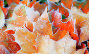 Autumn Leaf Posters - Frost Touched Poster by Theresa Tahara