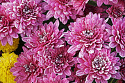 Pink Chrysanthemums Framed Prints - Frosted Chrysanthemums Framed Print by Dean Pennala