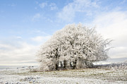 Wintry Photo Prints - Frosted Copse Print by Anne Gilbert
