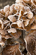 Wintry Photo Prints - Frosted Hydrangea Print by Anne Gilbert
