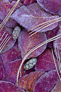 Pine Cones Photos - Frosted Leaves by Alan L Graham