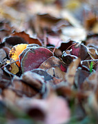 Howard Heywood Metal Prints - Frosted Leaves Metal Print by Howard Heywood