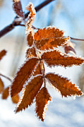 Hoar Prints - Frosted Leaves Print by Terry Elniski