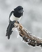 Black-billed Framed Prints - Frosted Magpie Framed Print by Tim Grams