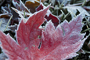 Changing Of The Seasons Prints - Frosted Maple Leaf Print by Aaron Spong