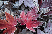 Changing Of The Seasons Prints - Frosted Maple Leaves Print by Aaron Spong