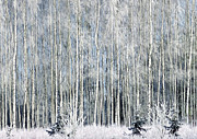 Marion McCristall - Frosty Aspens in Winter