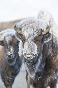 Frosty Bison Print by Deby Dixon