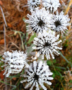 Buttonweed Photos - Frosty Buttonweed by Brook Burling