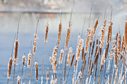 Fall Photos - Frosty Cattails by Cheryl Baxter