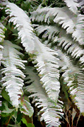 Winter Prints Posters - Frosty Ferns Poster by Ron Roberts